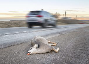 Dead deer hit by a car lying by the road, Wyoming, USA.